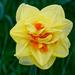 0505 - Daffodil