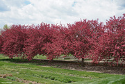 5th May 2021 - Redbud trees