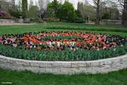 5th May 2021 - Tulips in the school colors