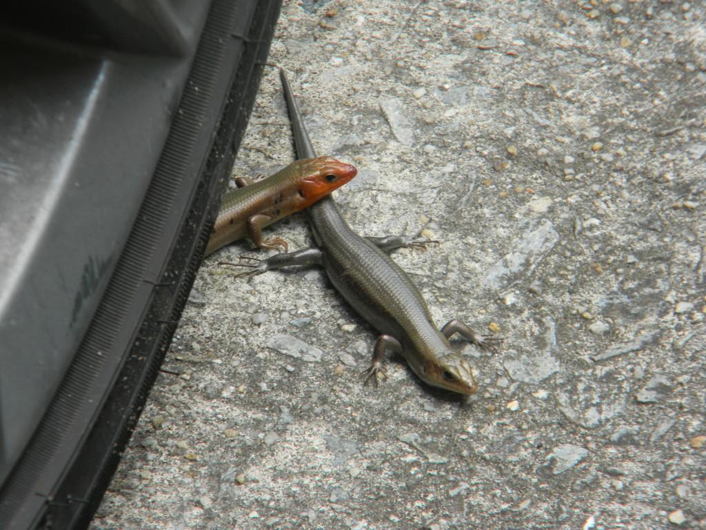Two Lizards by Tire  by sfeldphotos