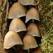 Ink Caps in a Stump by aleksanderrzyman