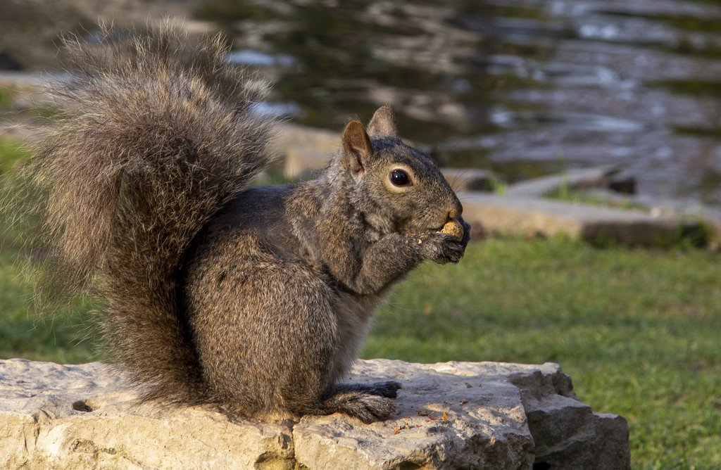 Kariya Park Squirrel by pdulis