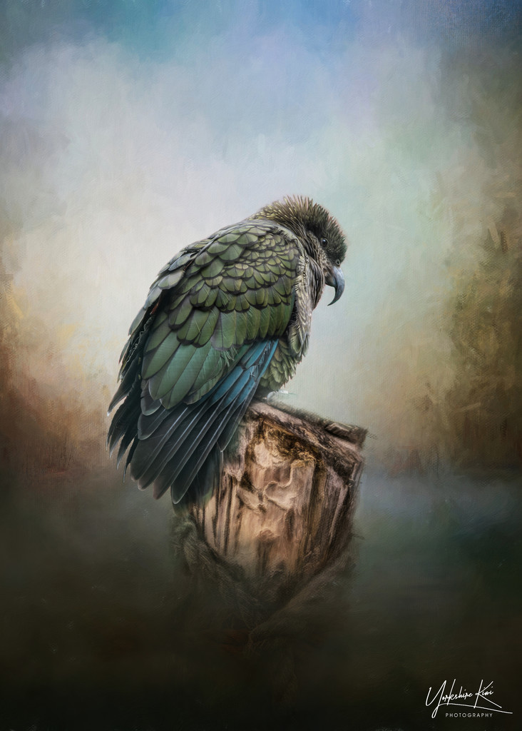 Ahi the Kea  by yorkshirekiwi