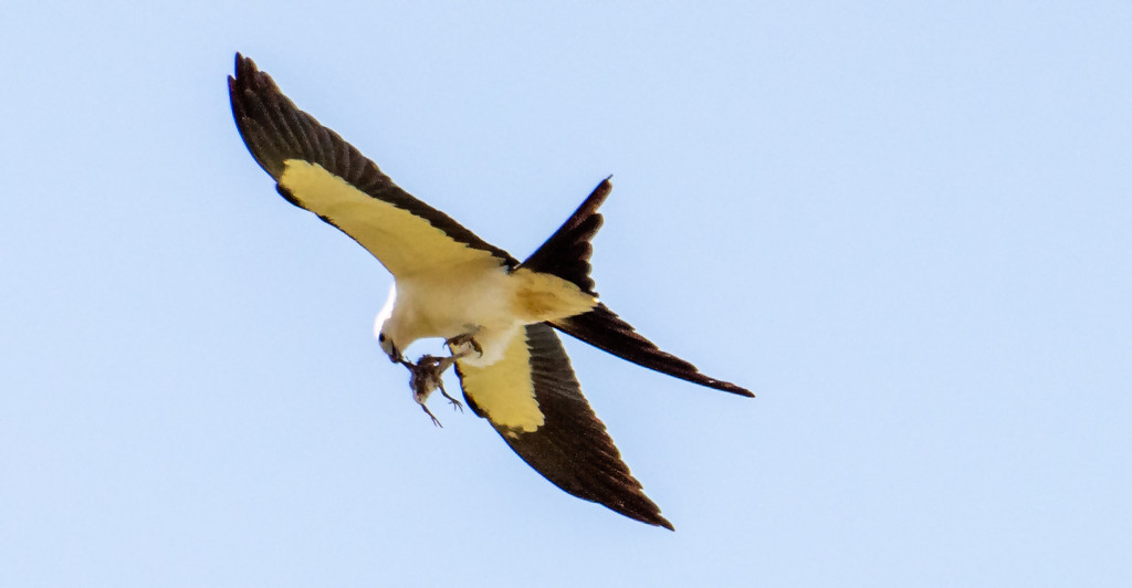 Swallowtail Kite With Lunch Or a Passenger! by rickster549