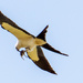Swallowtail Kite With Lunch Or a Passenger!
