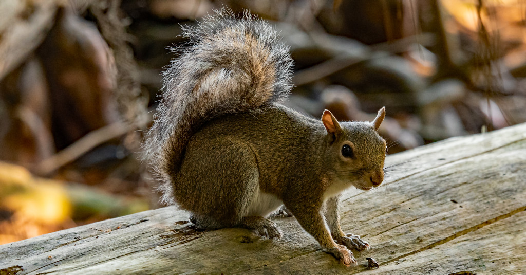 Grey Squirrel Keeping an Eye on Things! by rickster549
