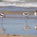 American Avocets in Mating Colors