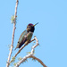 Anna's Hummer- He was dive bombing us
