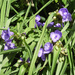 Spiderwort in full bloom