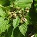 Blackberries coming soon