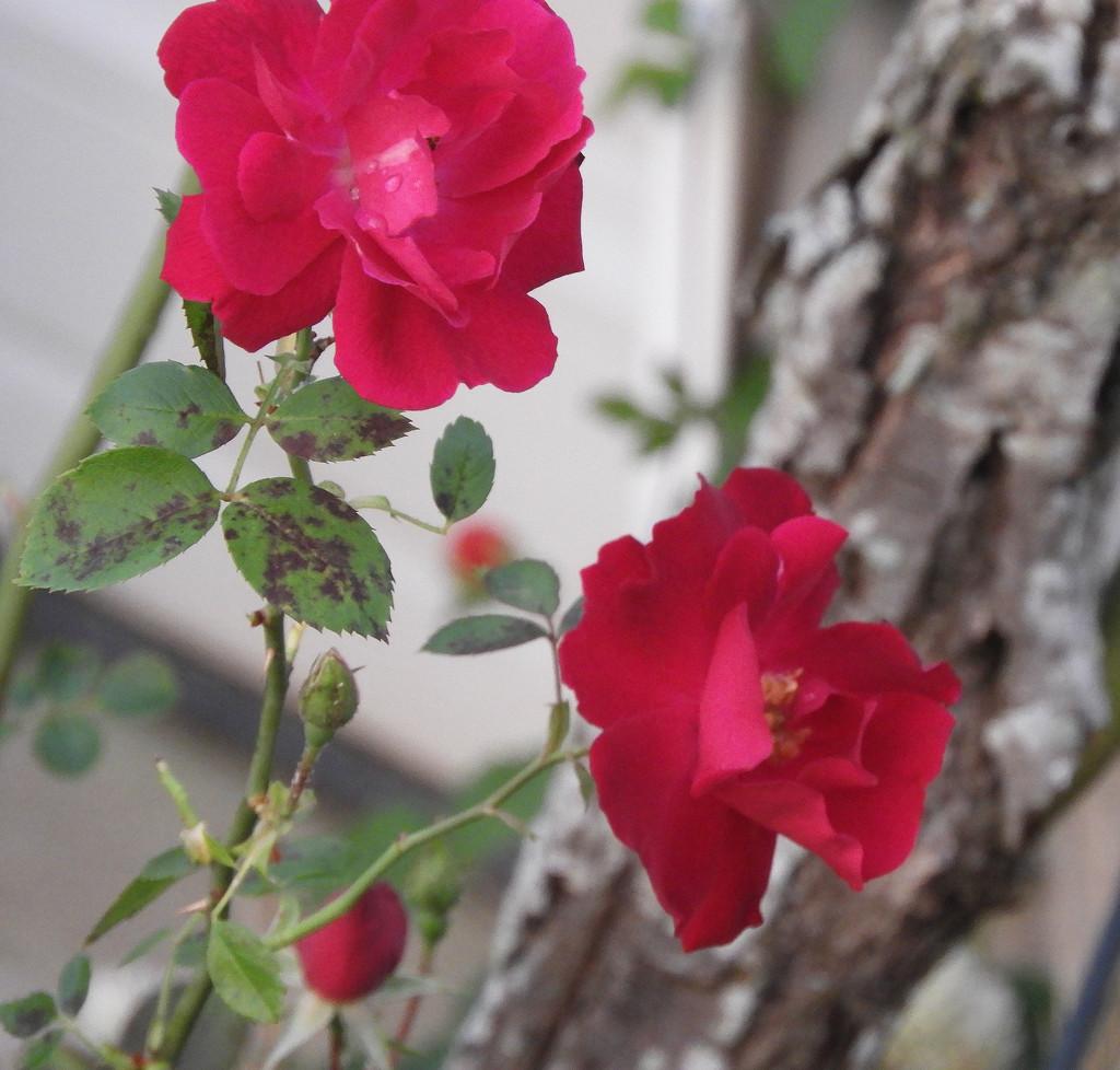 Samantha's Roses by homeschoolmom