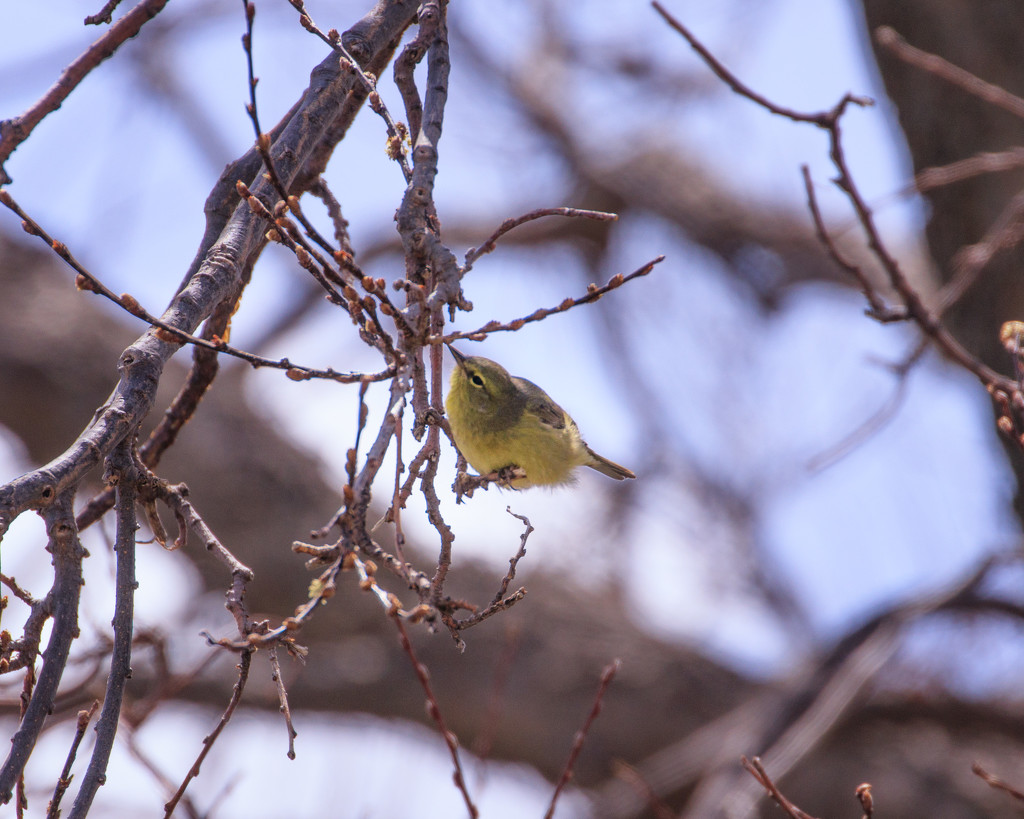 warbler by aecasey