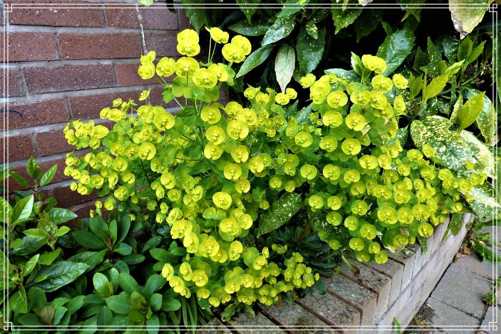 Euphorbia Robbiae by beryl