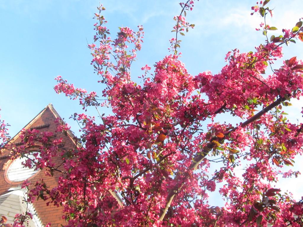 Church Garden deep pink Blossom. by grace55