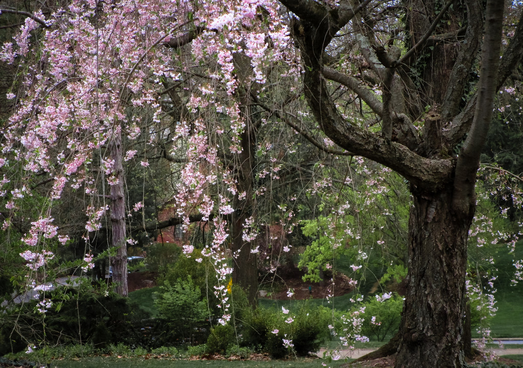 Weeping cherry tree by mittens