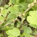 Bee on baby blackcurrants