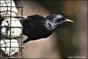 6th May 2021 - Beautiful starling