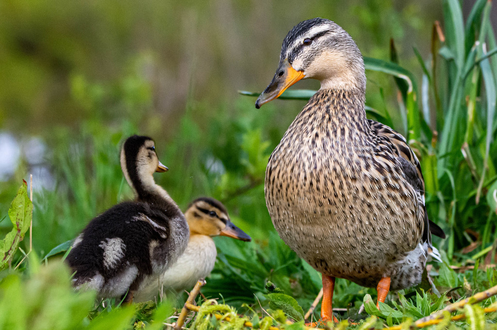 Mother and babies by stevejacob
