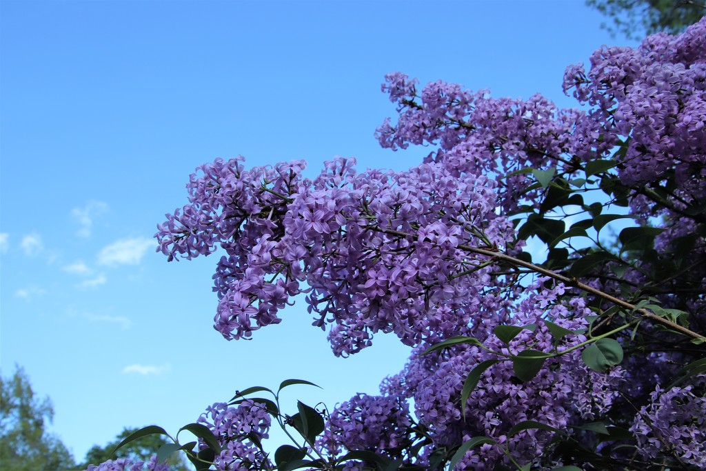 Lilacs And The Sky by randy23