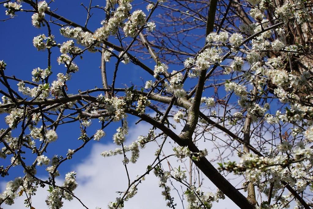 blossom on the damson tree by quietpurplehaze