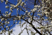 6th May 2021 - blossom on the damson tree