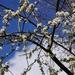 blossom on the damson tree