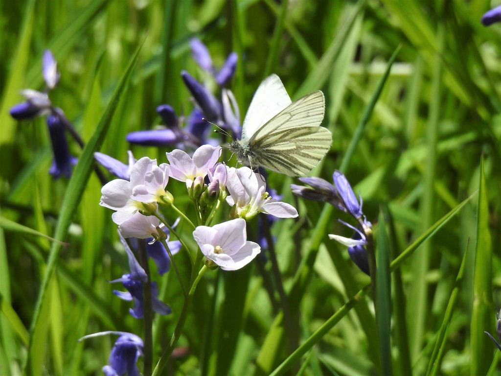 Green Veined White Butterfly (I think)........ by susiemc