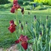 My red iris by tunia