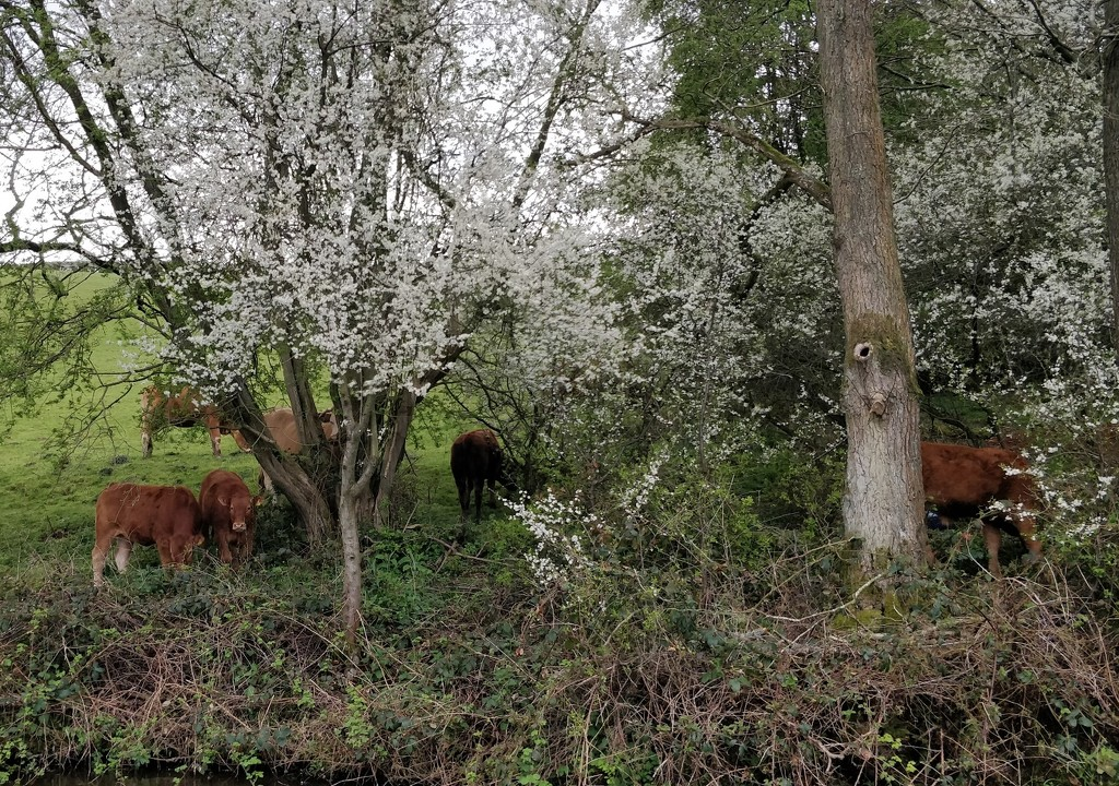 Cows and blackthorn blossom by roachling
