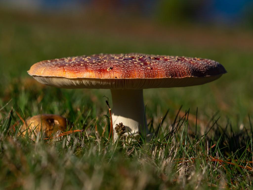 Mushroom by gosia