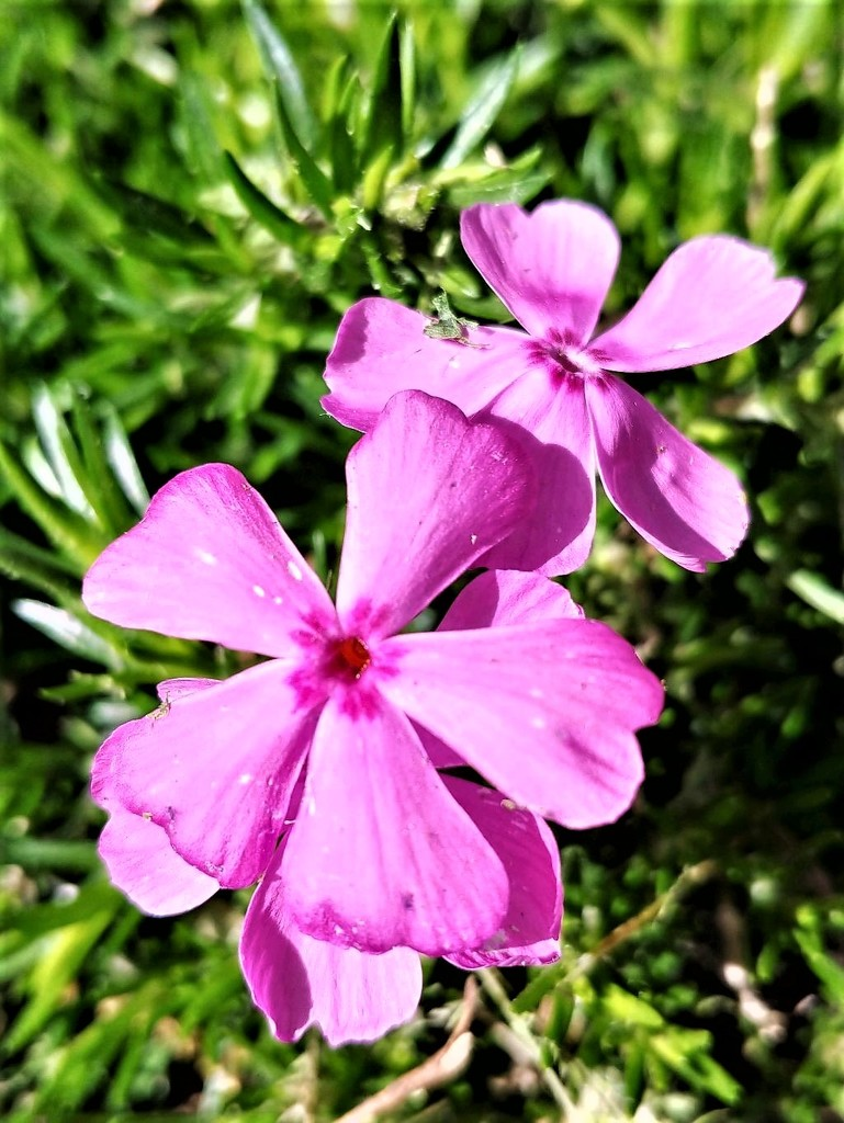 Sunny Pinks  by jo38