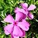 Sunny Pinks