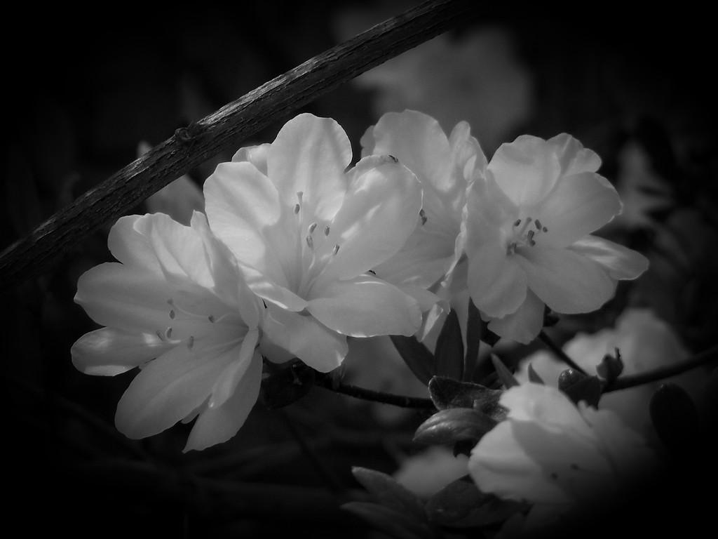 White azaleas... by marlboromaam
