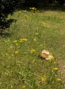 7th May 2021 - Cowgirl hat in the weeds...
