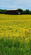 4th May 2021 - Field of Yellow
