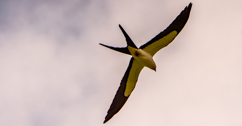 One More Swallowtail Kite! by rickster549