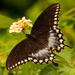 Spicebush Swallowtail Butterfly!