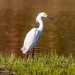Snowy Egret by brotherone