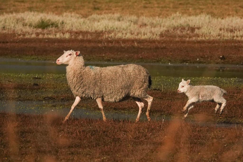 Spring lamb by maureenpp