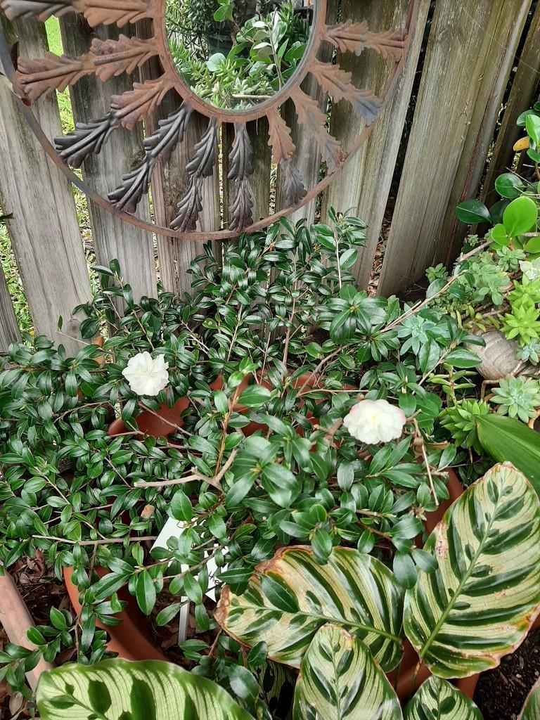 Hannah's Memorial Camellia  by mozette