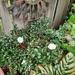 Hannah's Memorial Camellia