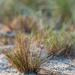 The grey hair-grass