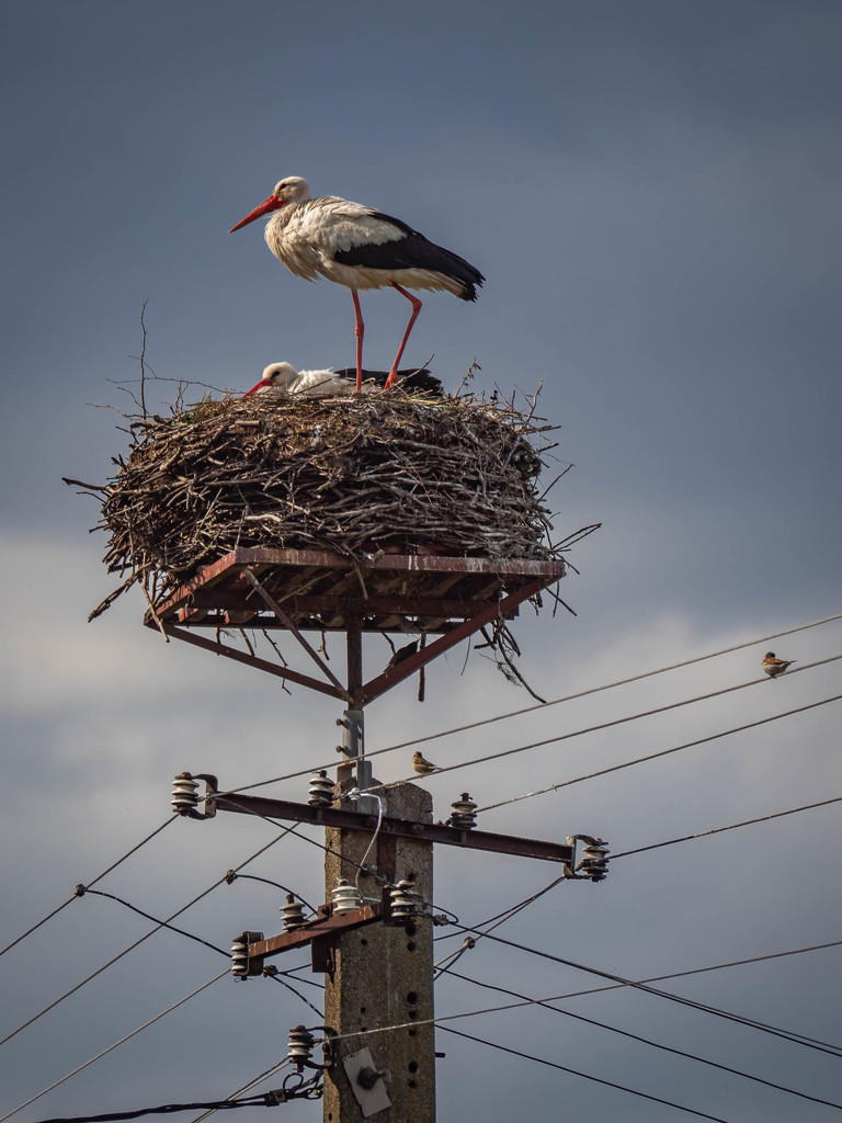 Common nest  by haskar