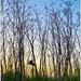 Licorice Woods