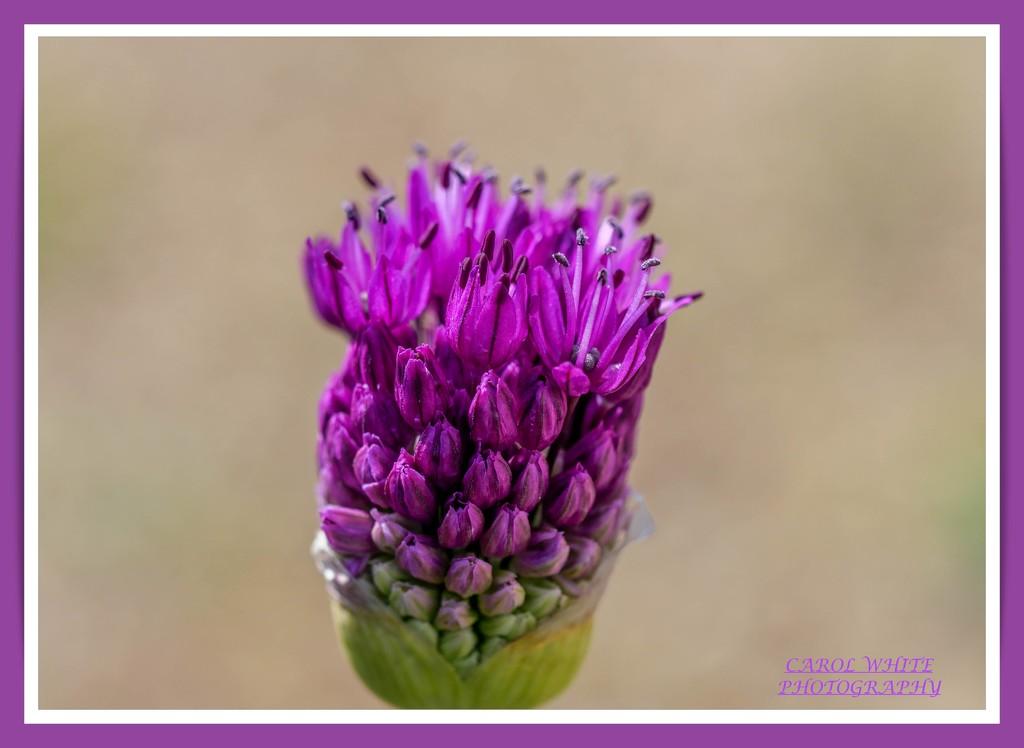 Bursting Into Flower by carolmw