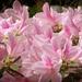 Spring pinks...