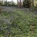 Bluebell carpet in Leomansley Woods
