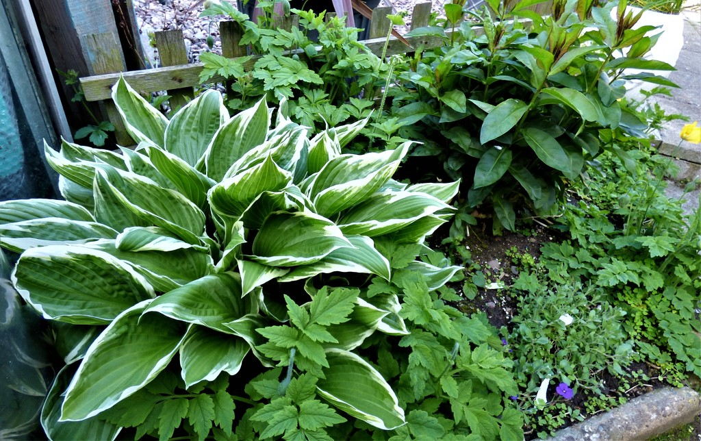 Hosta ( in a shaded spot by the greenhouse ) by beryl