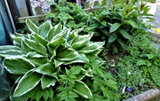 7th May 2021 - Hosta ( in a shaded spot by the greenhouse )