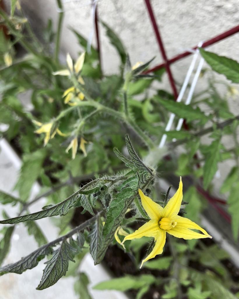 Tomatoes  by loweygrace